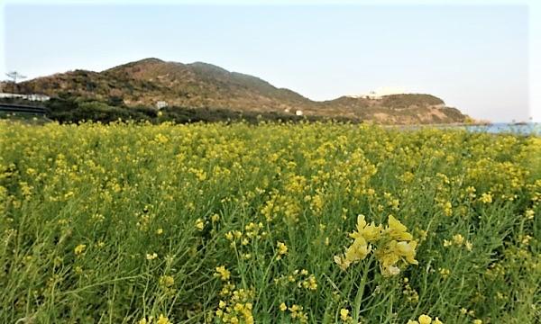 2021近畿~山陰大横断の春旅 伊良湖岬の菜の花